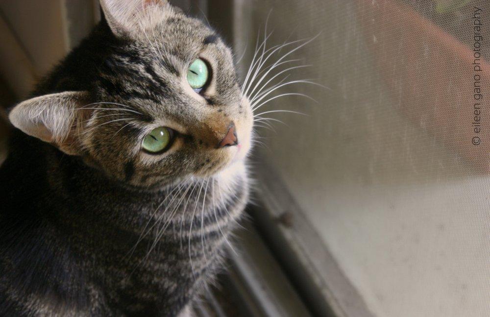 4-shorthair-cat-green-eyes-looking-up-eileen-gano
