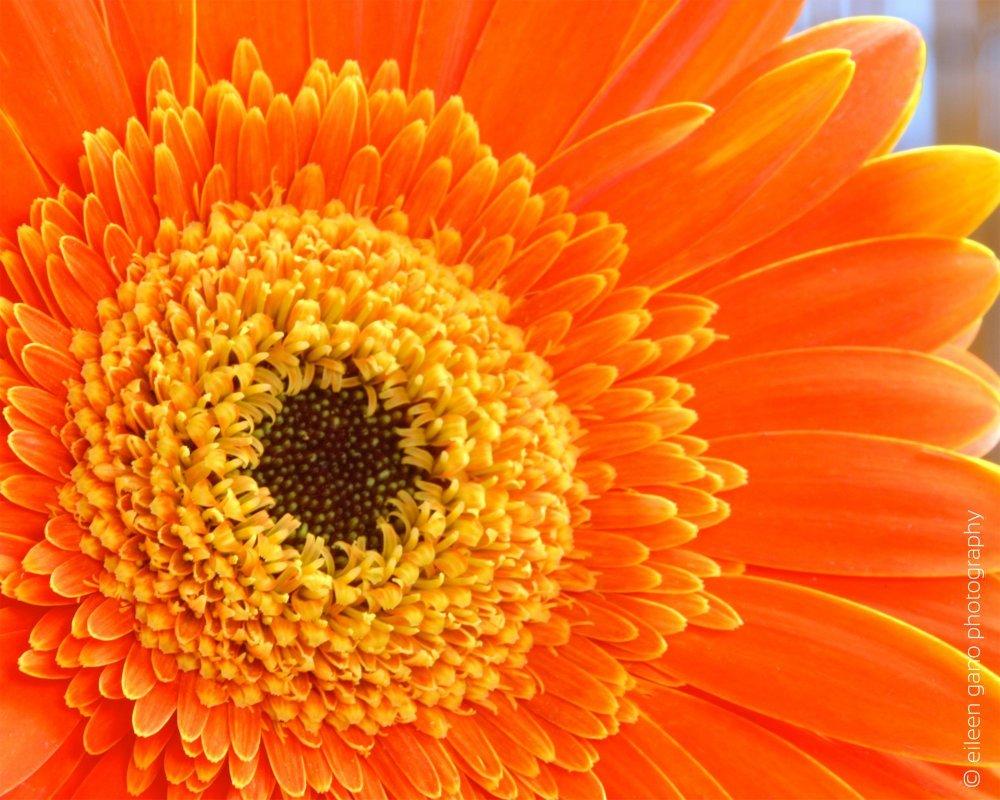 5-orange-gerber-daisy-close-up-eileen-gano