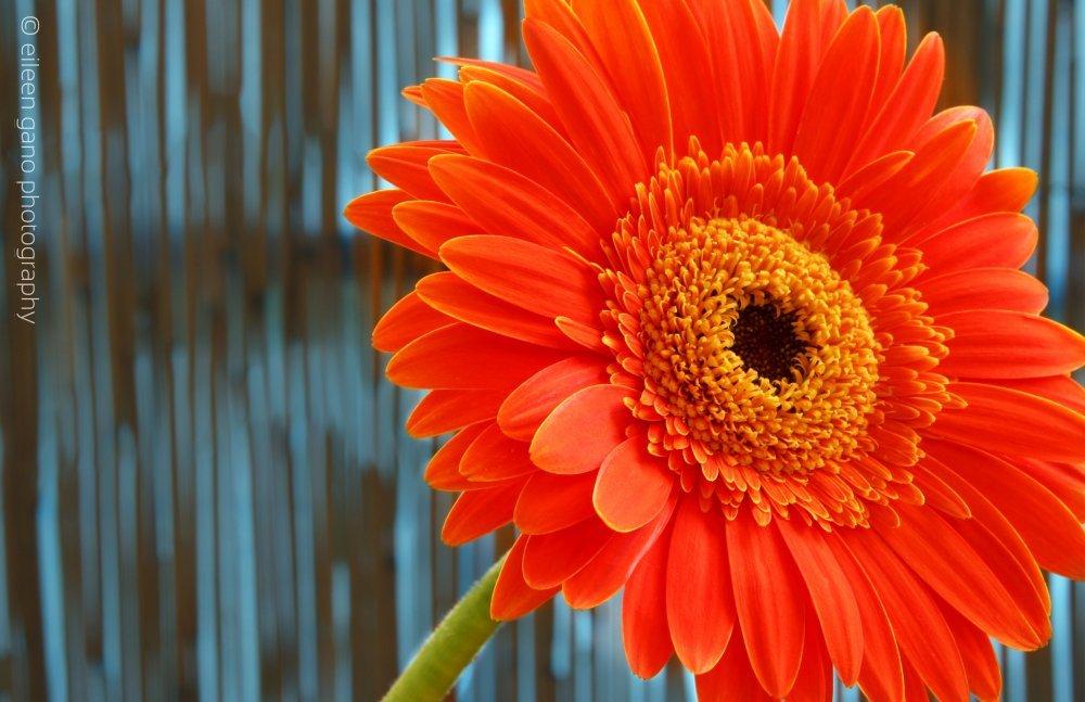 6-orange-flower-with-stem-eileen-gano
