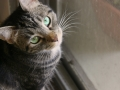 4-shorthair-cat-green-eyes-looking-up-eileen-gano