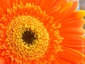 5-orange-gerber-daisy-close-up-eileen-gano