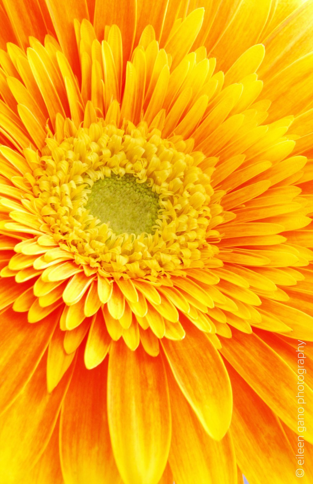 4-yellow-orange-gerber-daisy-close-up-eileen-gano