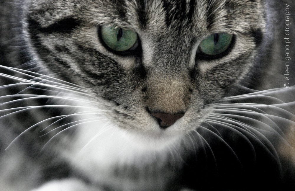6-black-and-white-green-eyes-cat-close-up-eileen-gano